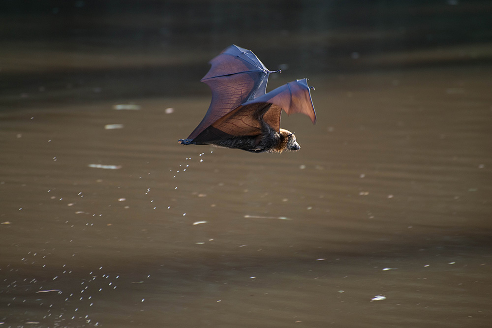 Fruit Bats Drinking (60 of 105)